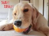 柿をくう犬