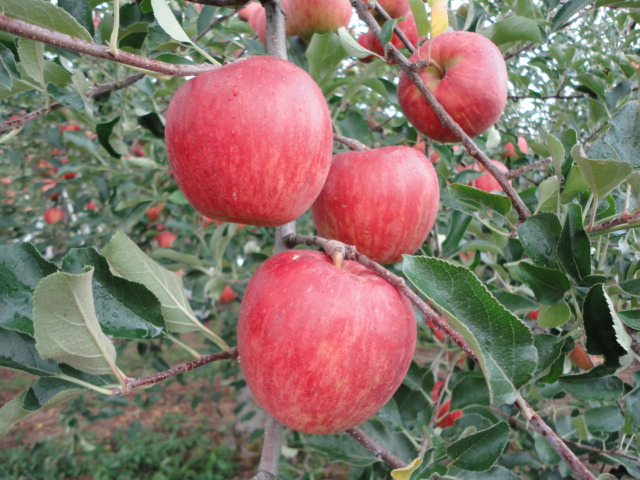 りんご娘へ…(おしょうしな観光大使 岸哲蔵の主張)